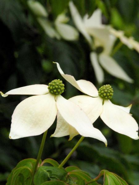 Zwei Blüten des Japanischen Hartriegels