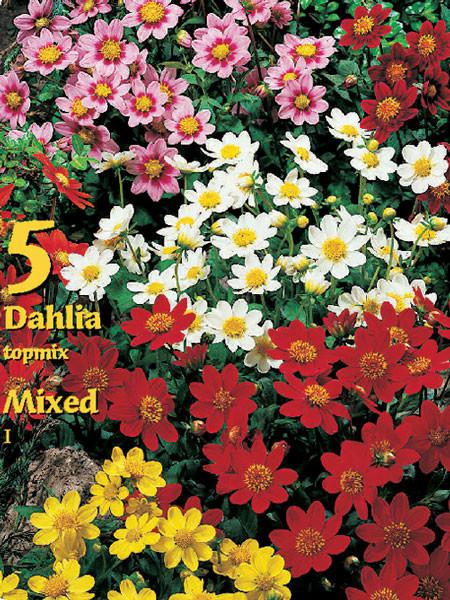 Topmix-Dahlien-Prachtmischung, Dahlia (Art.Nr. 522324)
