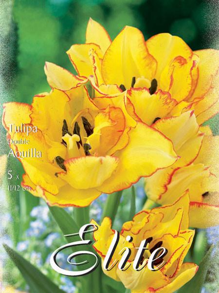 Gefüllte frühe Tulpe 'Aquilla' (Art.Nr. 595152)