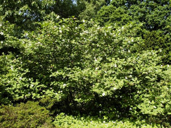 Sommer-Magnolie Strauch