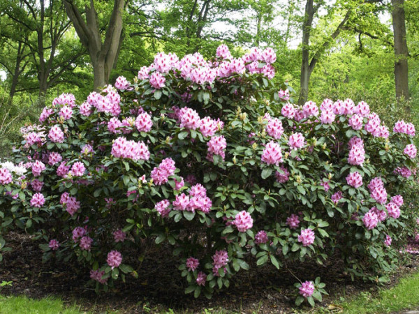 Rhododendron 'Furnivall's Daughter'