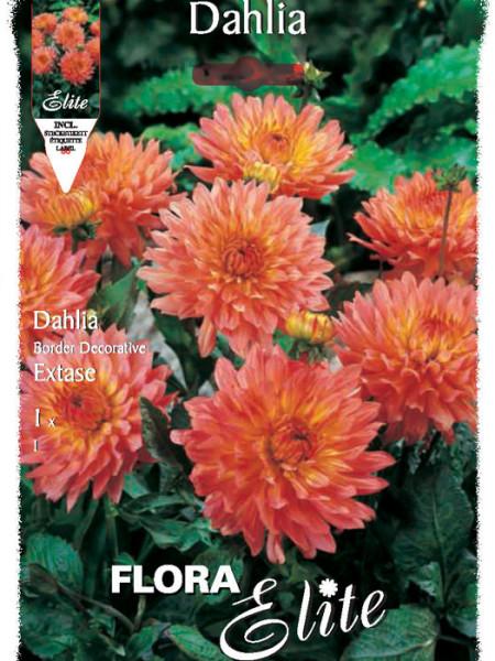Beet-Dahlie 'Extase', Dahlia (Art.Nr. 520382)
