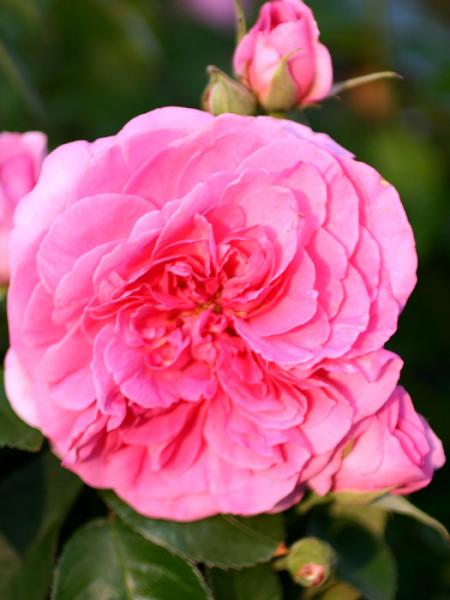 Blüte der Rose Gertrude Jekyll