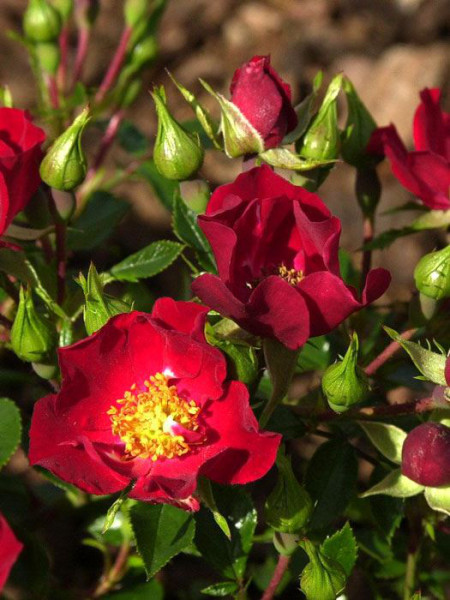 Blüte der Rose Bassino