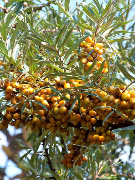 Hippophae rhamnoides 'Friesdorfer Orange', Sanddorn
