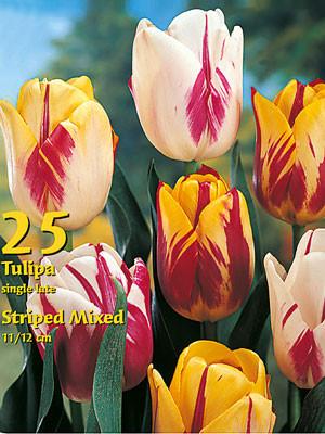 Rembrandt-Tulpen-Prachtmischung (Großpackung) (Art.Nr. 597720)