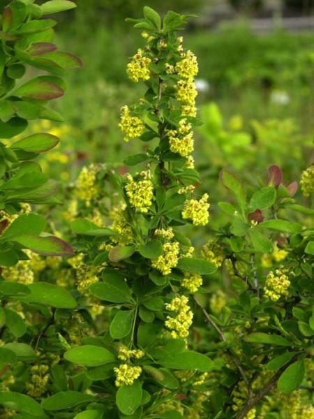Berberis vulgaris, Sauerdorn