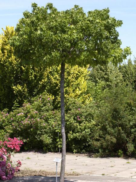 Liquidambar styraciflua Gumball, Kugel-Amberbaum - XXL-Produkt