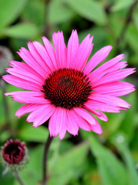 Echinacea purpurea 'Fatal Attraction' ®, Garten-Sonnenhut, Scheinsonnenhut