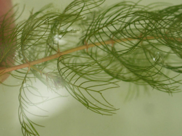 Ceratophyllum demersum, Hornblatt