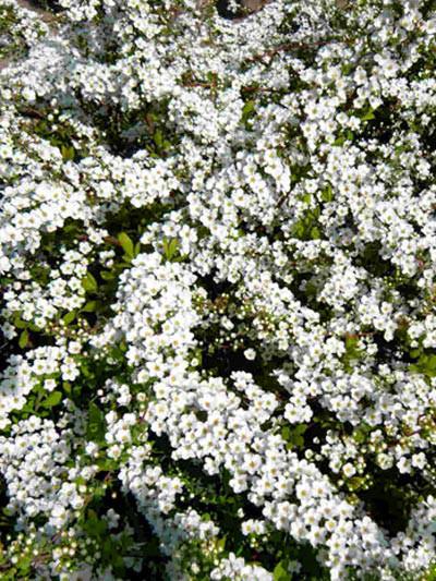 Blütenstand Frühlingsspiere