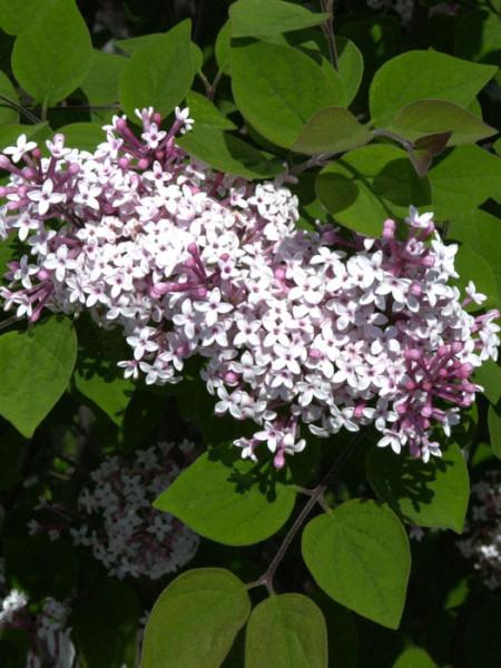 Herbstflieder Superba Blüte