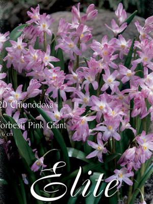 Schneeglanz 'Pink Giant', Sternhyazinthe Chionodoxa (Art.Nr. 596532)