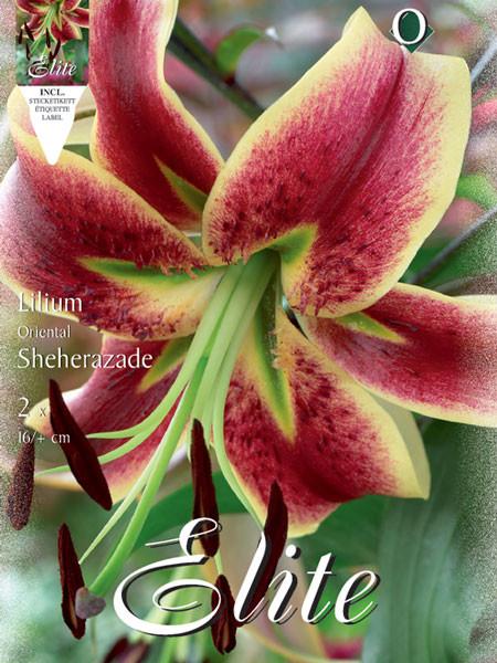 Orientalische Lilien-Hybride 'Sheherazade', Lilium (Art.Nr. 521723)