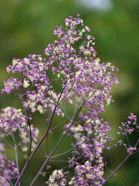 Thalictrum rochebrunianum 'Elin', Prächtige Wiesenraute