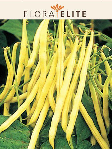 Buschbohne 'Golden Teepee' (Art.Nr. 27025)