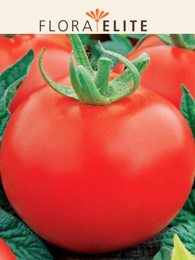 Frühe Tomate 'Harzfeuer F1' (Art.Nr. 21550)