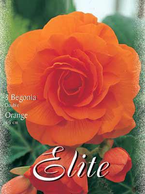 Riesenblumige Begonie 'Orange', Begonia gigantea (Art.Nr. 520830)