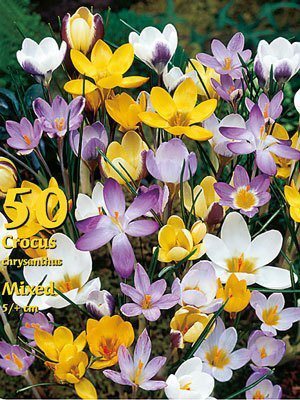 Botanische Wildcrocus-Prachtmischung (Großpackung) (Art.Nr. 597960)