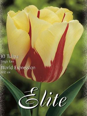 Einfache späte Tulpe 'World Expression' (Art.Nr. 595372)