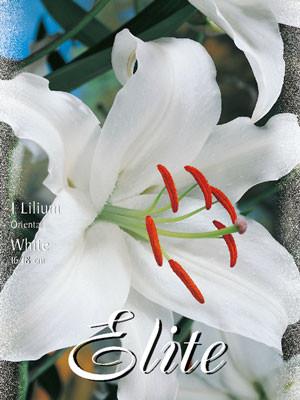 Orientalische Lilien-Hybride 'Weiß' (Art.Nr. 597148)