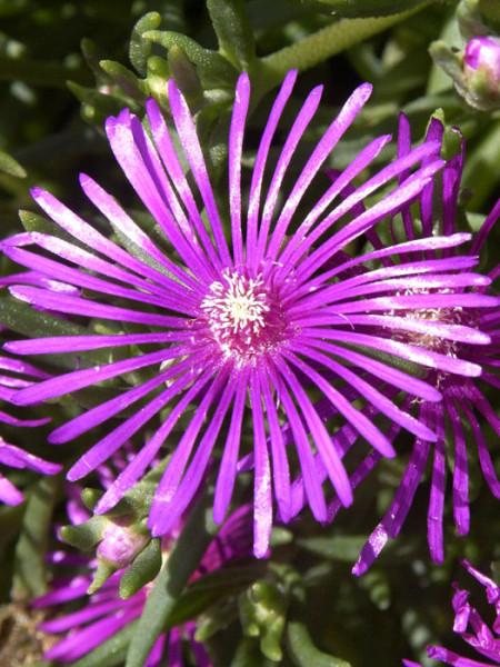 Delosperma cooperi (M), Mittagsblume