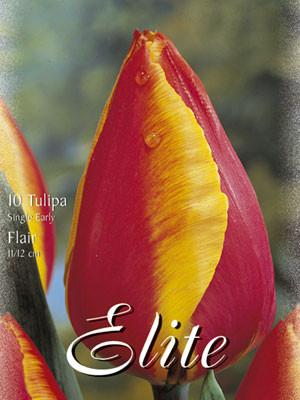 Einfache frühe Tulpe 'Flair' (Art.Nr. 595108)