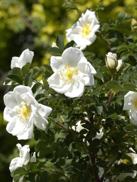 Rosa pimpinellifolia (spinosissima), Bibernellrose