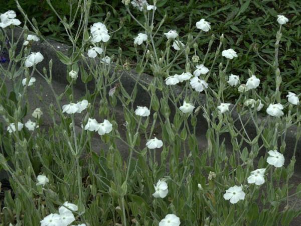 Lychnis (syn. Silene) coronaria 'Alba', Himalaya-Lichtnelke, Kronen-Lichtnelke, Samtnelke