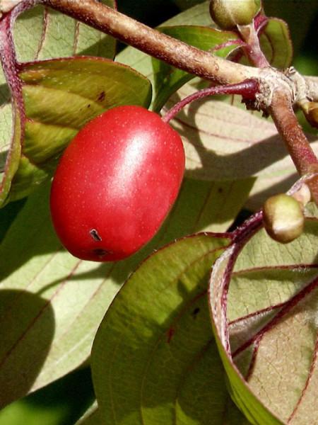 Rote Frucht des Japanischen Arzneihartriegels