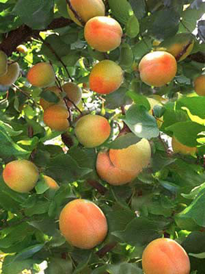 Früchte der Zwergaprikose Aprigold