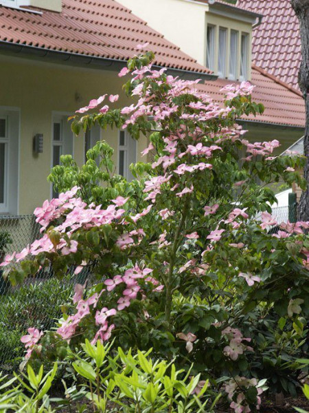 Japanischer Blumenhartriegel 'Satomi' in voller Blüte