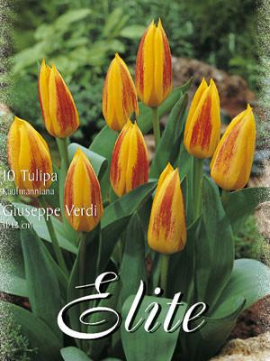 Kaufmanniana-Tulpe 'Guiseppe Verdi' (Art.Nr. 595824)