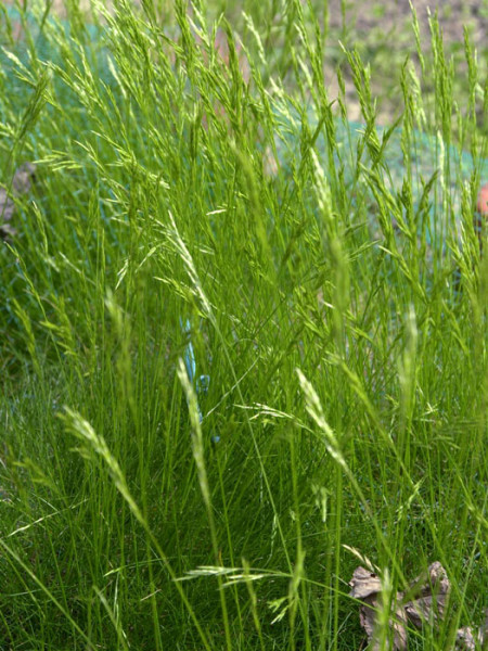 Festuca gautieri (scoparia) (M), Bärenfell-Schwingel