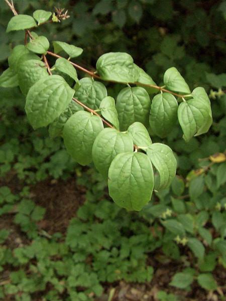 Ast mit Blättern des Jasmins Virginal