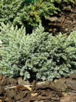 Juniperus squamata 'Blue Star', Blauer Zwerg-Wacholder
