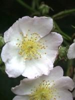 Rosa multiflora, Vielblütige Rose, Büschel-Rose