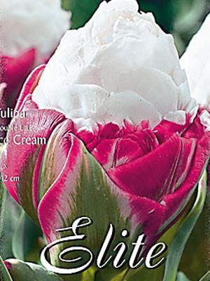 Gefüllte späte Tulpe 'Ice Cream' (Art.Nr. 595410)