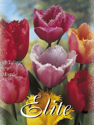 Gefranste Tulpen-Prachtmischung (Art.Nr. 595530)