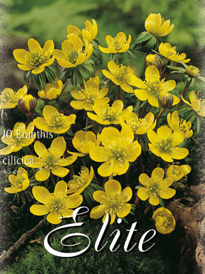 Winterling, Eranthis cilicica (Art.Nr. 596660)