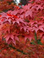 Acer palmatum 'Atropurpureum', Rotblättriger Fächerahorn