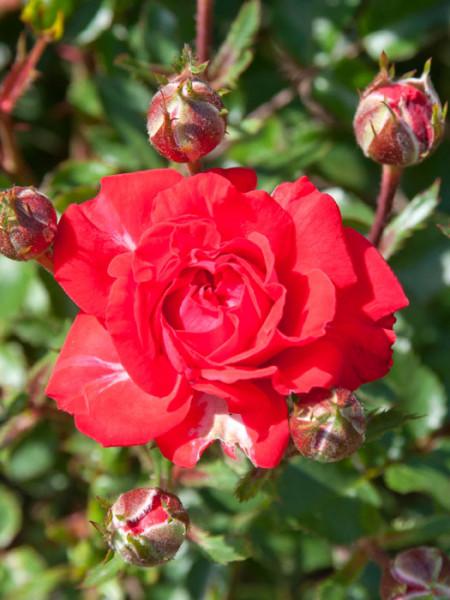 Rose Zwergenfee 09 ® - Kordes