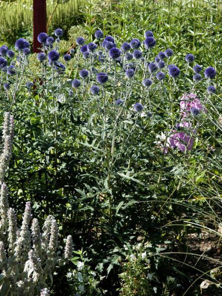 Echinops ritro 'Veitchs Blue', Kugeldistel, ruthenische Kugeldistel