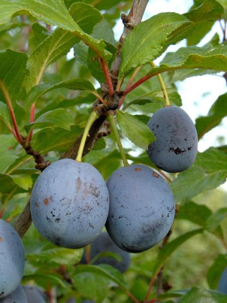 Früchte und Blätter der Zwetsche Hanita