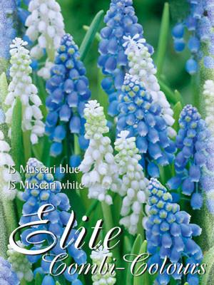 Edle Farbkombination mit Traubenhyazinthen in den Farben Blau und Weiß (Art.Nr. 597998)