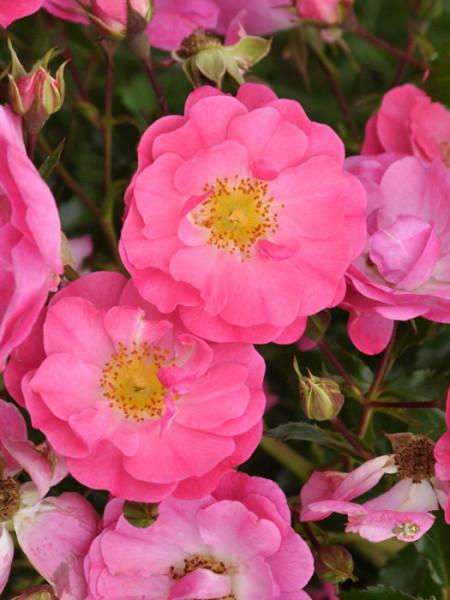Blüte der Rose Neon