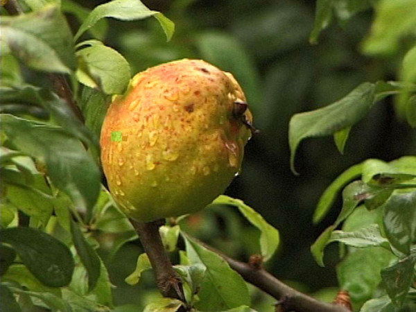 Frucht der Zierquitte