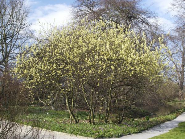Salix aurita, Ohrweide