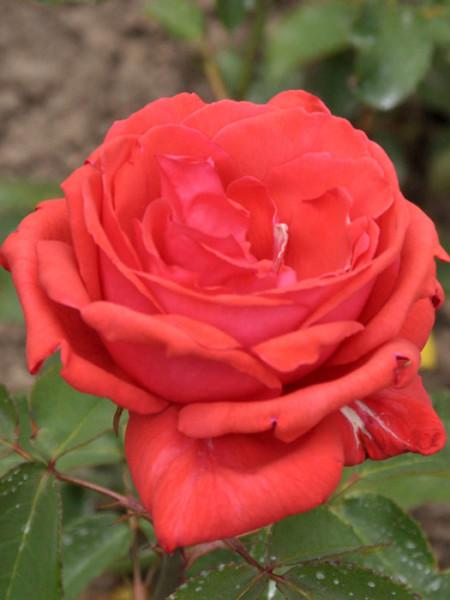 Blüte der Rose Duftwolke