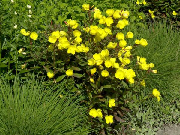 Oenothera tetragona 'Hohes Licht', Nachtkerze
